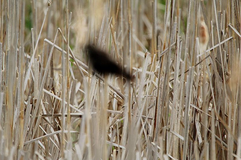 Out of focus Bird Millbrook Marsh Bird Photography Eyemphotography EyeEm Nature Lover Pennsylvania EyeEm Best Shots State College Pa Red Winged Black Bird Out Of Focus Plant Nature Growth No People Grass Day Field Land Full Frame Dry Outdoors Beauty In Nature Cattail Scenics - Nature Backgrounds