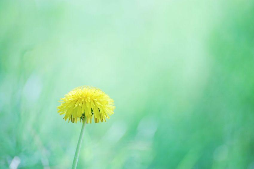 Nature Flower Beauty In Nature Hokkaido Sapporo Yellow EOS 6D