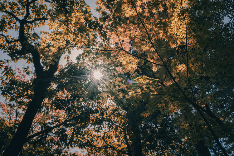 Autumn Beauty In Nature Branch Bright Change Day Directly Below Forest Growth Land Lens Flare Low Angle View Nature No People Outdoors Plant Sky Streaming Sun Sunbeam Sunlight Tranquility Tree Tree Canopy