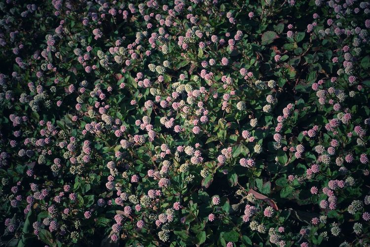 Flower Persicaria Capitata Plant Nature Full Frame Beauty In Nature Flower Head Blooming Autumn High Angle View Japan