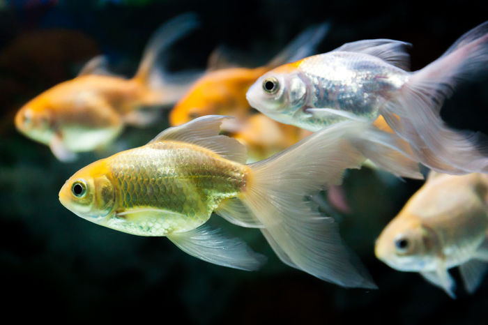 Gold fishes swimming from left to right Goldfish In Water Animal Themes Aquarium Aquatic, Asia, Attractive, Beautiful, Biology, Bloom, Blossom, Botanical, Botany, Bud, Calyxes, China, Closeup, Dark, Details, East, Effloresce, Exotic, Floret, Flourish, Flower, Fragrant, Garden, Giant, Green, Lake, Landscape, Leaf, Lily, Lotiform, Lotus Fish Motion, Pet, Orange, Swimming Underwater Underwater,