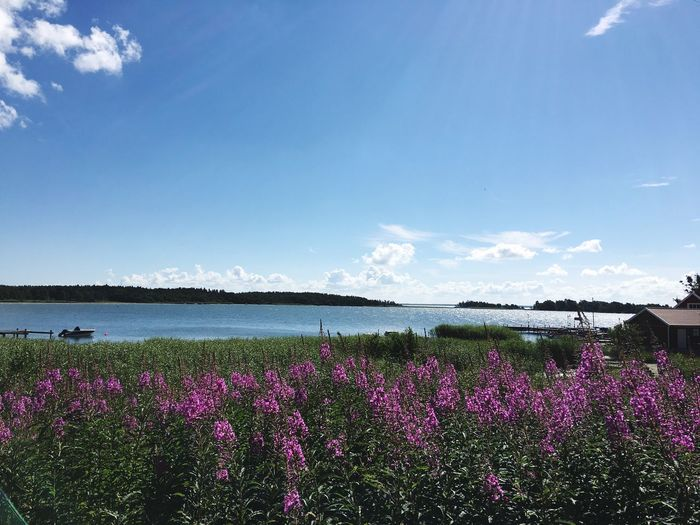 Flower Beauty In Nature Nature Growth Purple Plant Tranquil Scene Outdoors Day Sky No People Landscape Blooming Water Lake Sweden Calm