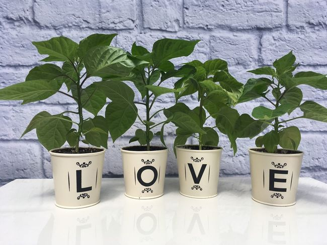 Love Growth Plant Potted Plant Leaf Green Color Text No People Indoors  Nature Day Close-up Chilli Green Fresh Food Nature Environmental Issues