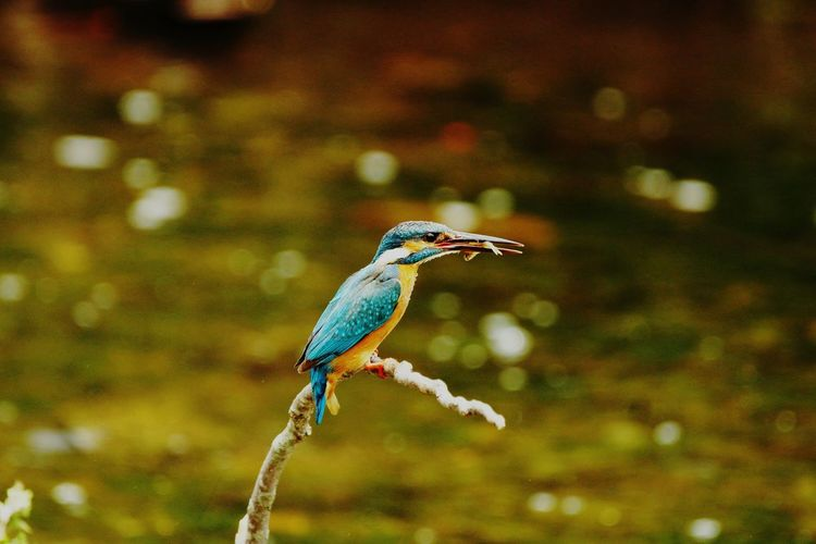 Bird カワセミ Kingfisher