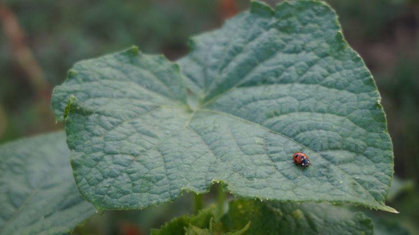 божья коровка божьякоровка Ladybug Ladybird Природа лето Summer Nature