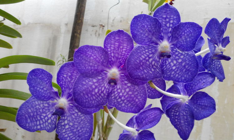 Vanda Orchid Orchids Flowers Flower Collection Flowerlovers Blue Purple