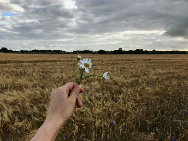 Field Sky Cloud - Sky Nature Cereal Plant Beauty In Nature Daisy Human Hand Denmark Danmark Natur Loveinnature Beutiful  Day