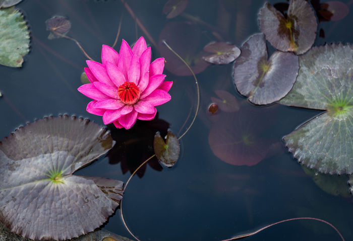 Beauty In Nature Blooming Floating On Water Flower Flower Head Freshness High Angle View Lake Lily Pad Lotus Lotus Water Lily Nature No People Petal Pink Color Plant Water Water Lily