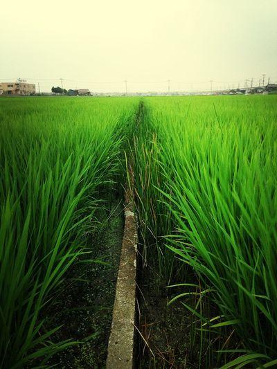 二年ぶりのお米畑