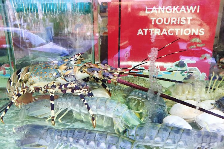 Fresh Seafood Restaurant Lobster In Tank Waiting To Be Scooped  No Escape Tourist Attractions Langkawi Island Alive  Seafood
