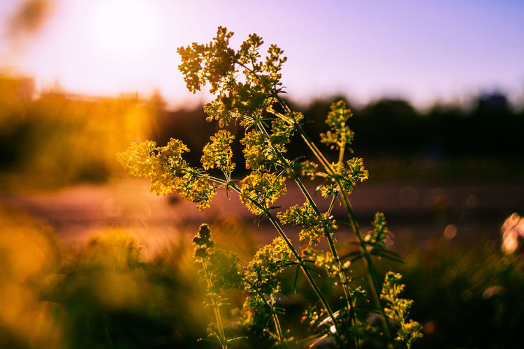 Beauty In Nature Belarus Nature Blooming Blossom Close-up Day Evening Sun Field Flower Focus On Foreground Fragility Freshness Growing Growth Nature Outdoors Plant Scenics Selective Focus Stem Sunrays Sunset Tranquil Scene Tranquility Yellow