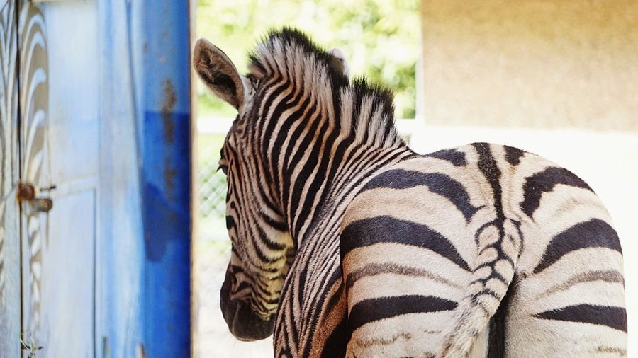 Zoobesuch One Animal Animals In The Wild Striped Animal Wildlife Animal Themes Day No People Mammal Side View Outdoors Safari Animals Nature Animal Markings Zebra Close-up Focus On Foreground Natural Beauty Zebrastreifen ZooLife Close Up Simple Things Simplicity EyeEmBestPics Springtime