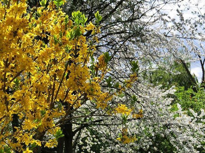 Forsythia Floweringforsythia Flowering Floweringcherry Flowerstagram Tree Forest Nature Naturerlebnis Chillout Nature_perfection Natgeo Natgeotravel Natgeotravelpic Lonelytree