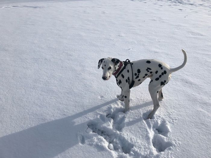 Buddy in the snow EyeEm Selects Winter Snow One Animal Cold Temperature Canine Dog White Color Dalmatian Dog Pets No People Animal Themes Domestic Animals First Eyeem Photo