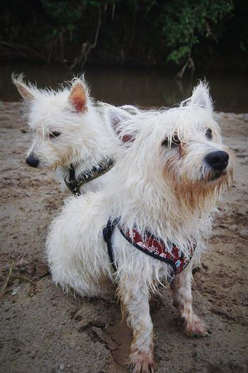 My Dogs soaked Westies Terrier Perros  Dog Life