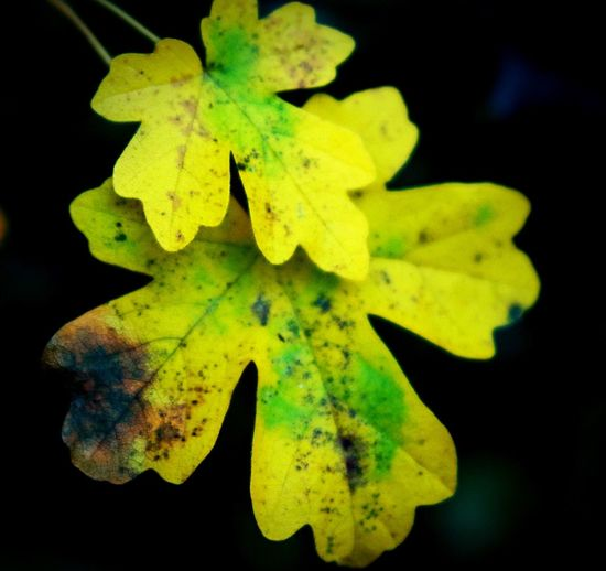 Photography Leaf Close-up Yellow Green Outdoors Autumn Colours Nature Beauty In Nature Fragility