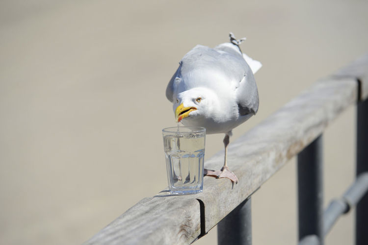 Seagull drink a glass of water Beach Water Nature Food Animal Bird Glass Day Outdoors Seagull Food And Drink Close-up Norderney No People Perching Animals In The Wild Animal Themes One Animal Focus On Foreground Animal Wildlife Wood - Material Vertebrate Möwe Nordsee