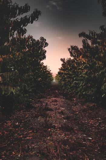 Day Fog Nature No People Orange Tree Orchard Outdoors Sky Sunset Tree Tree Trees