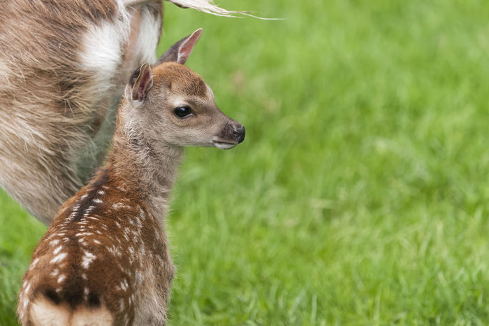 Red deer fawn with mother Animal Themes Animals In The Wild Baby Animals Baby Deer Beauty In Nature Deer Deers Fawn Fur Grass Looking Nature No People One Animal Outdoors Red Deer Wildlife Young Animal Young Animals