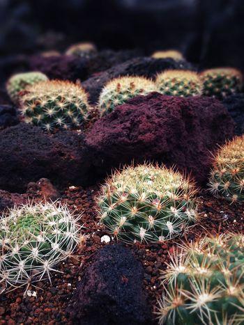 サボテン Cactus 仙人掌