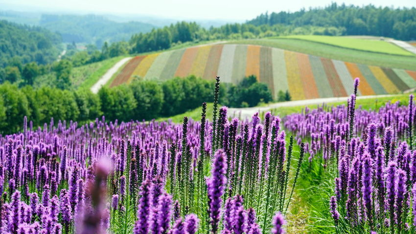 Farm Shikisainooka Agriculture Beauty In Nature Blossom Colorful Field Flower Flower Head Flower Hill Flowerbed Flowering Plant Growth Hill Land Landscape Lavender No People Outdoors Plant Plantation Purple Rows Of Flowers Scenics - Nature Spruce