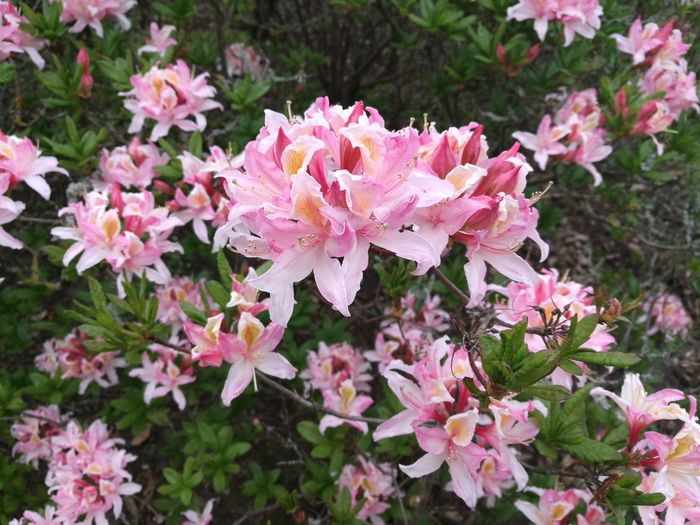 Azalea Azaleas Rhododendron Pink Azalea Nature Beauty In Nature Outdoors Smartphonephotography HuaweiP9 P9 The Purist (no Edit, No Filter) Purist No Edit No Filter Growth Pink Color Pink And Green Pink Flowers Green Background Pink Flower Blooming Kew Gardens Gardens Springtime United Kingdom Spring Spring Day Spring Garden