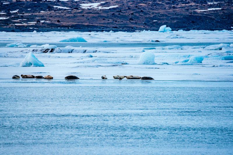 Seals relaxing at frozen Jokulsarlon lake