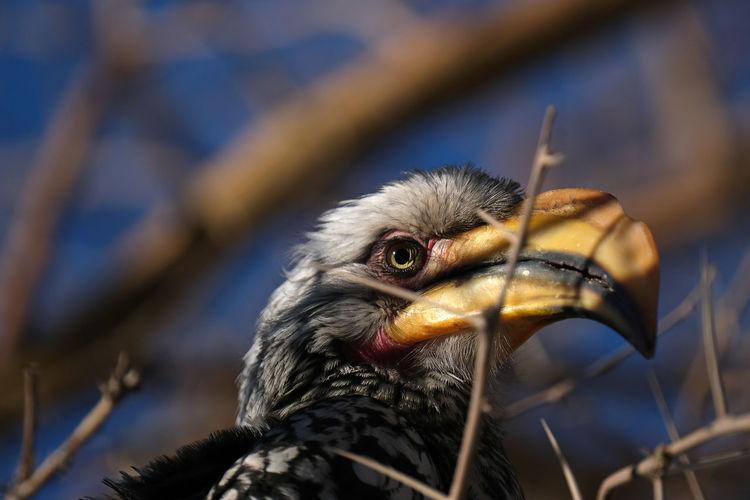 Bradfield hornbill, namibia
