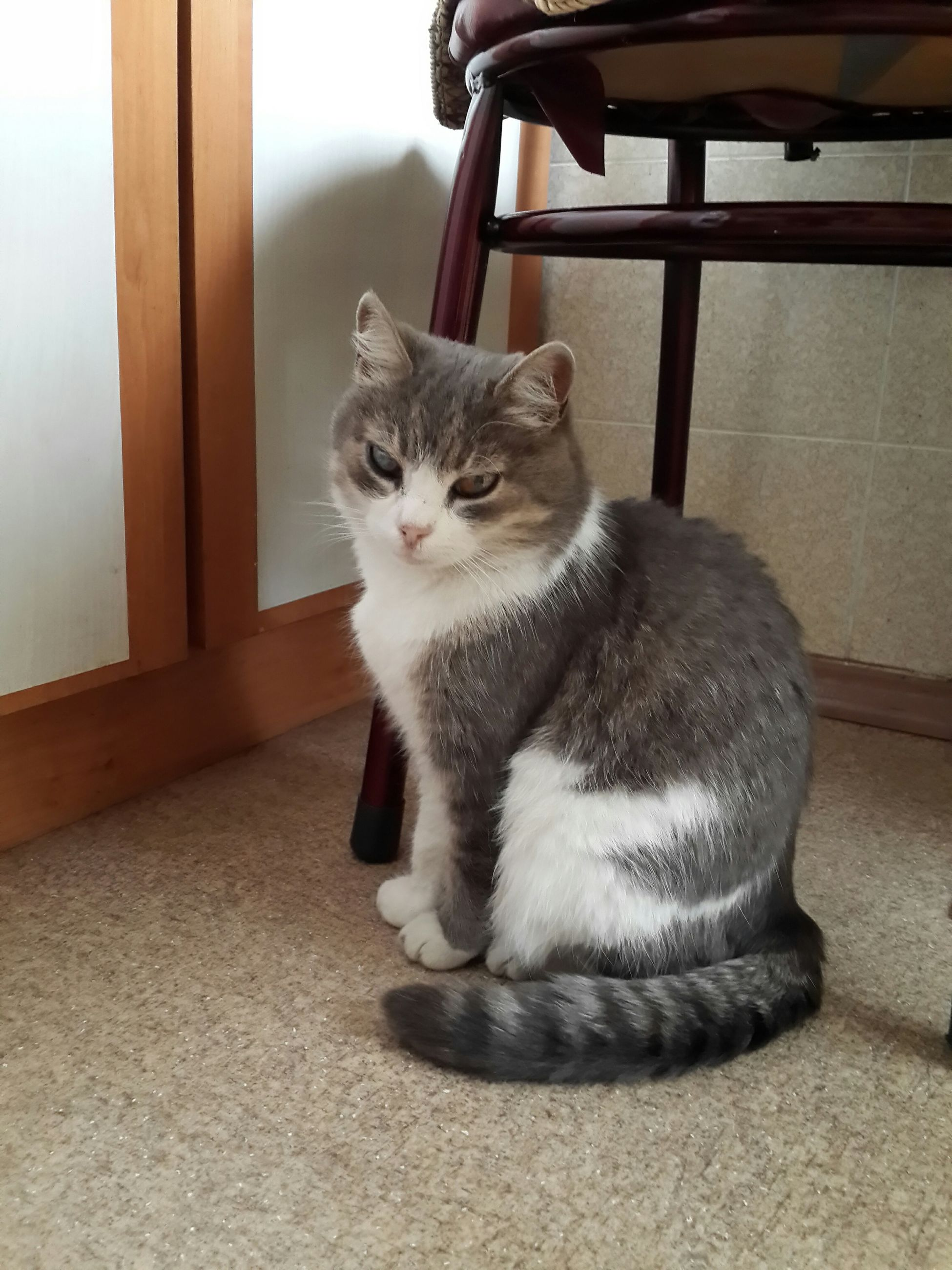 domestic cat, cat, pets, domestic animals, one animal, feline, mammal, animal themes, indoors, whisker, portrait, looking at camera, relaxation, sitting, home interior, no people, staring, close-up, alertness, day