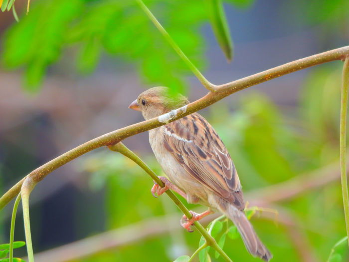 cute Sparrow on tree branch Animal Themes Animals In The Wild Beginnings Bird Botany Branch Close-up Colourful Nature Day Depth Of Field Focus On Foreground Fragility Greenery Growing Nature Photography Outdoors Perching Seed-eaters Selective Focus Sparrow Bird