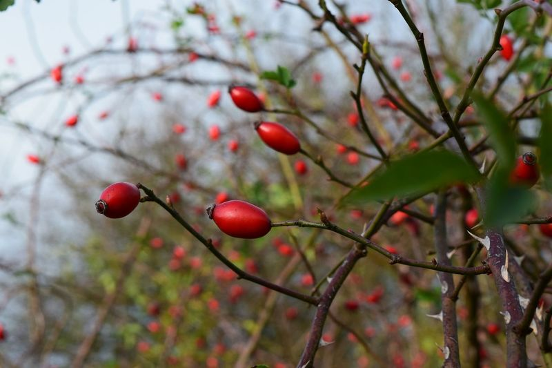 Red Fruit Close-up Plant Outdoors Beauty In Nature From My Point Of View Eyeemphoto Autumn 2016 The Places I've Been And The Things I've Seen The Places ı've Been Today November2016 It Is Cold Outside Beauty In Nature Bokeh Hagebutten Nature Cold Temperature