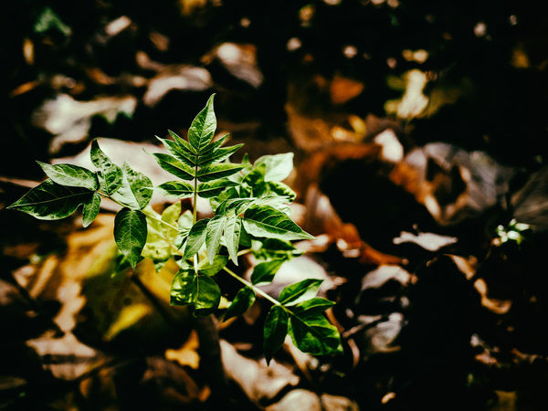 Autumn Leaf Plant Part Plant Nature Growth Beauty In Nature Green Color No People Selective Focus Close-up Day Sunlight Field Freshness Land Outdoors Focus On Foreground Food High Angle View Leaves Herb Autumn Autumn colors Fall Fall Beauty