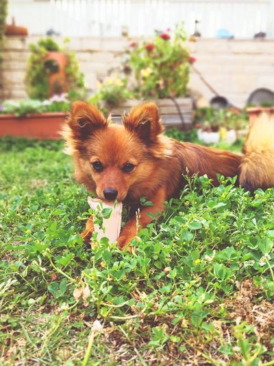 dog life Nature Dogs Love Puppy❤ Toy Green Sunnyday☀️ Pets Dog Animal Themes Close-up Grass Toy Animal First Eyeem Photo