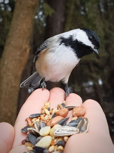 Feeding the birdies. One Person Human Hand Focus On Foreground Outdoors Close-up Bird Nature Chickadee Birdseed Animals Hiking Done That.