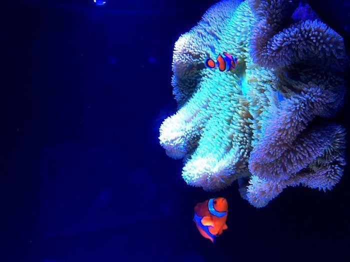 カクレクマノミ Fish 京都水族館 イソギンチャク