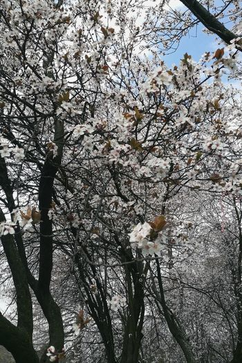 Beauty In Nature Blossom Branch Cherry Blossom Cherry Tree Day Flower Flowering Plant Fragility Freshness Growth Low Angle View Nature No People Outdoors Plant Spring Springtime Tree Vulnerability  White Color