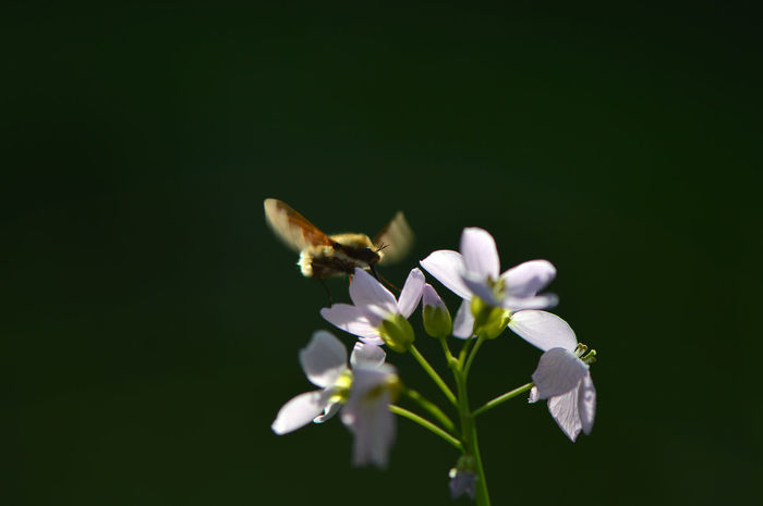 Bee fly on cuckoo flower... Flower Insect Fragility Plant Freshness Petal Nature White Color Beauty In Nature Close-up Focus On Foreground Animal Wildlife No People Uncultivated Animals In The Wild Growth One Animal Black Background Flower Head Outdoors Bee Fly Wollschweber Cuckoo Flower Cuckooflower Macro Art Is Everywhere