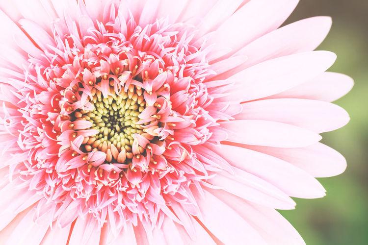 Close-up of pink gerbera daisy flower