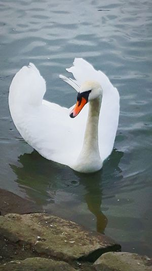 Swan In A Lake Swan Beautiful Nature Saltwell Park