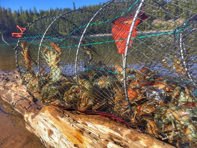 Dinner Crawfish Time Crawdads Crawdad Nets Trapped Trap Northern California Lassen County Crater Lake California