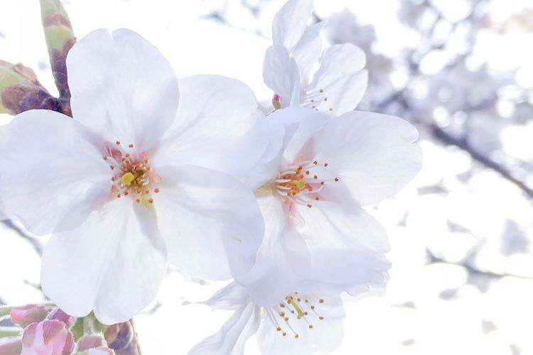 Cherry Blossoms Sakura Japan Springtime Flower White Color Blossom Fragility Beauty In Nature Springtime Nature Petal Flower Head Freshness No People Day Growth Outdoors Close-up