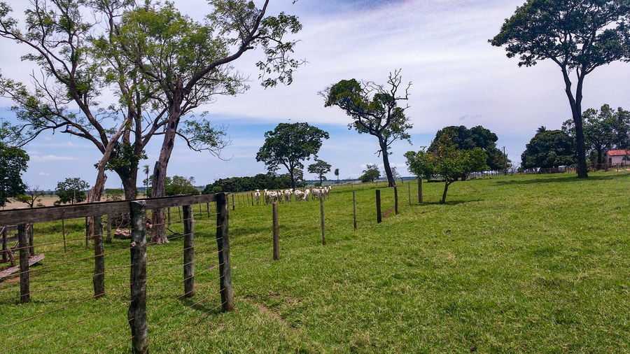 Tree Nature Green Color Field Outdoors Growth Agriculture Cloud - Sky Beauty In Nature Sky No People Day Landscape Rural Scene Scenics Grass Boi Fazenda Gado Nelore Interior Curral