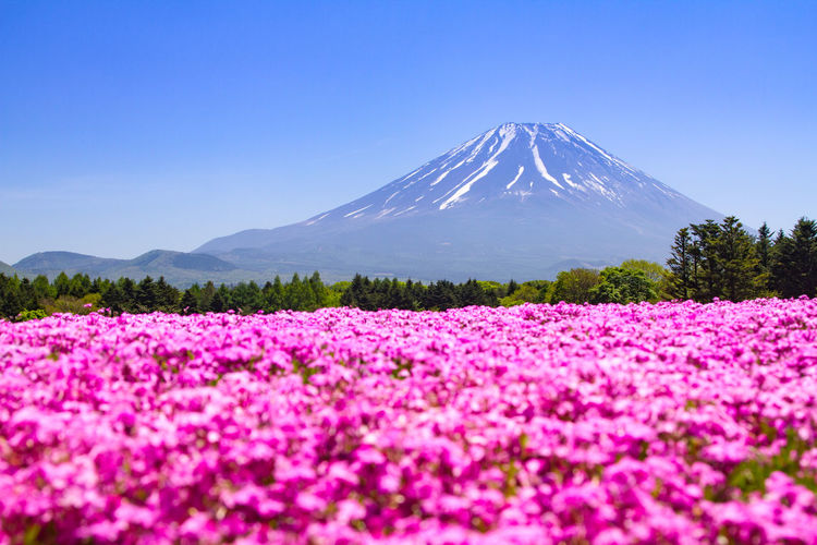 Mt. Fuji with pink carpet of shibazakura or phlox mosses in spring Mt. Fuji, Japan Beauty In Nature Blue Clear Sky Day Flower Freshness Landscape Mountain Nature No People Outdoors Phlox Mosses Scenics Shibazakura Sky Tranquil Scene Tranquility