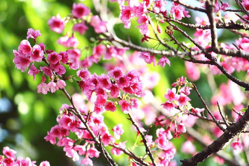 寒緋桜 Flower