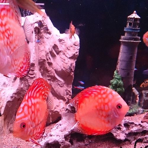 Discusfish Instadiscus Cichlid Instacichlid lighthouse freshwater aquarium watertank Instagood Like Photooftheday Tagsforlikes Beautiful Picoftheday Instadaily All_shots Instacool Cool Colorful Picstitch Igdaily Instapic Instaphoto