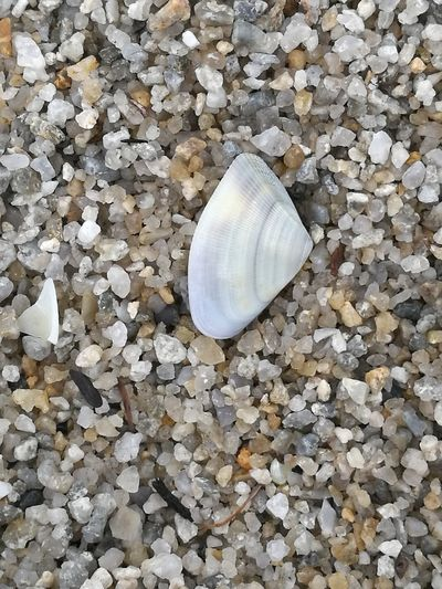Close-up Day Fragility Nature No People One Animal Outdoors Pebble Sand Sea Life Seashell Shell