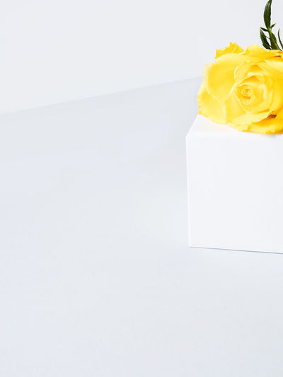 High angle view of yellow rose on white background