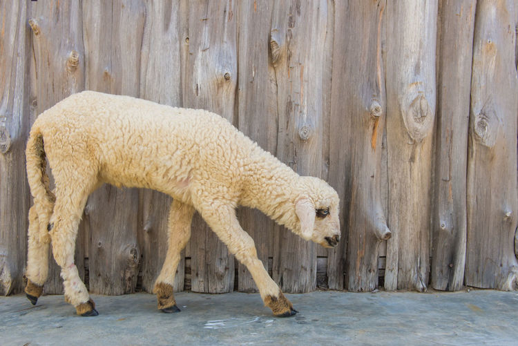 Animal Animal Themes Mammal One Animal Vertebrate Wood - Material No People Domestic Animals Side View Livestock Animal Wildlife Day Nature Domestic Outdoors Pets Sheep Standing White Color Brown Herbivorous Profile View