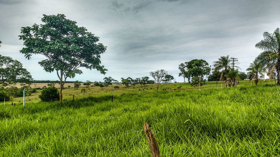 Fazenda Sitio Curral Interior Nelore Gado Boi Grass Rural Scene Day No People Sky Beauty In Nature Cloud - Sky Agriculture Nature Tree Árvores E Céu CeuAzul Sky And Clouds Plant Summer árvores
