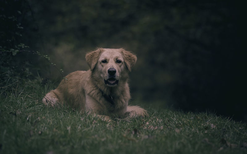 Morning light captures dog relaxing on a grass bank with wooded background. peaceful relaxing image